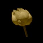 Pre-floración